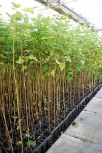 <i>Populus tremuloides</i> - Quaking Aspen