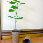 Sugar Maple in Coir Pot