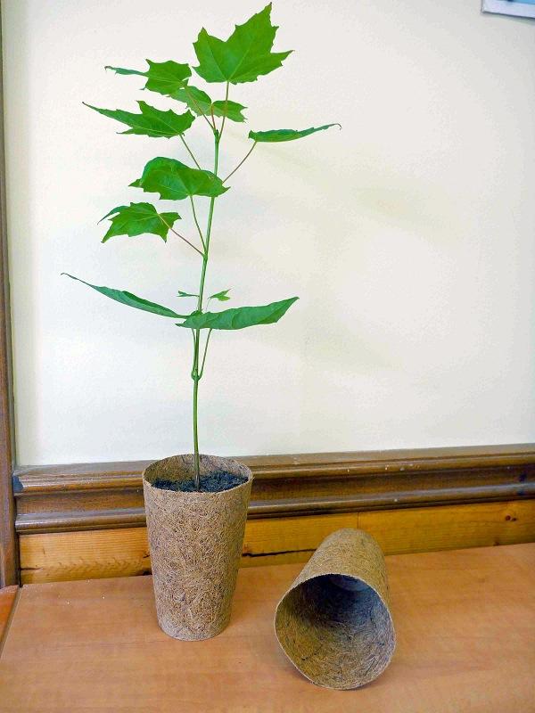 Sugar Maple in Coir Pot