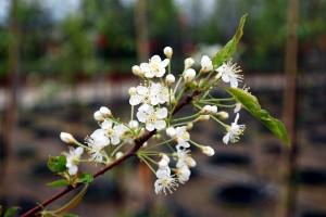 Pin cherry (Prunus pensylvanica) flowers