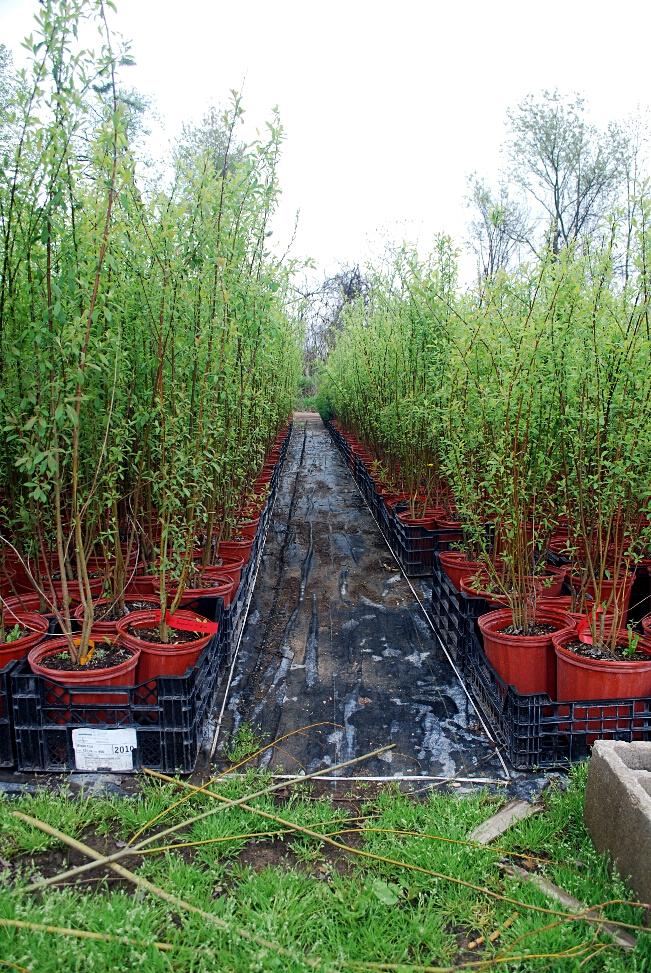 Willow Species