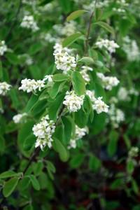 Allegheny Serviceberry (Amelanchier laevis) flowers
