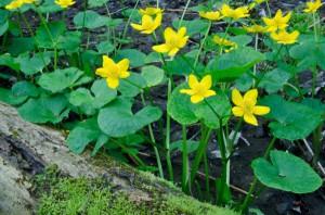 Caltha palustris - Marsh Marigolds