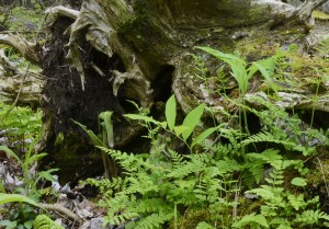 Arisaema triphyllum - Jack-in-the-Pulpit on the forest floor